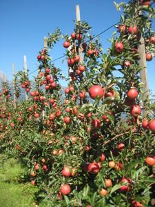 Apfelernte_Datenkabel für Wetterstation 005